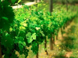esencia del vino 20